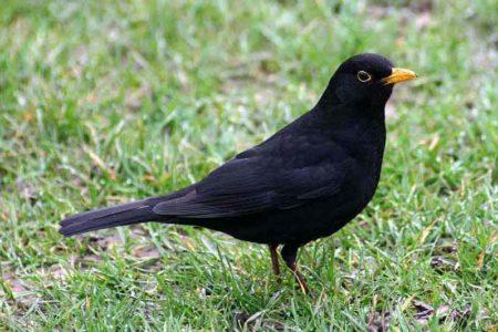 A hét madárdala: A fekete rigó - 2014.01.13