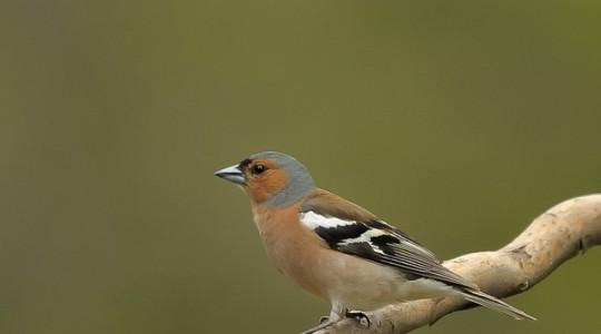 A hét madárdala: Az erdei pinty - 2014.01.27