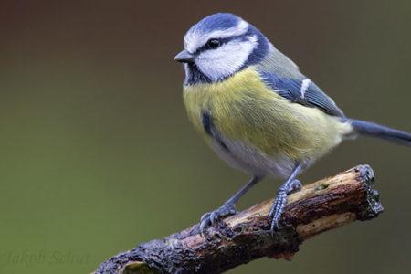 A hét madárdala: A kék cinege - 2020.01.13