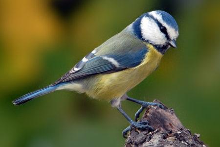 A hét madárdala: A kék cinege - 2014.01.06