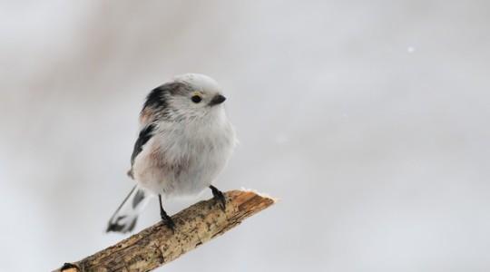 A hét madárdala: Őszapó - 2014.02.17