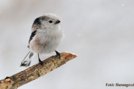 A hét madárdala: Őszapó - 2020.02.17