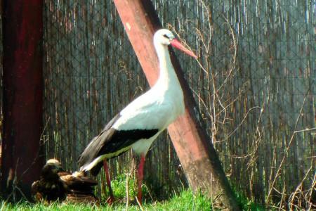 Fehér gólya - 1070