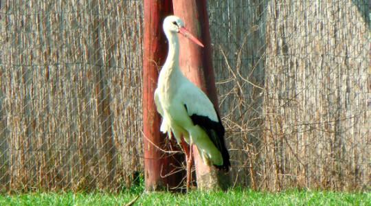 Fehér gólya - 1072