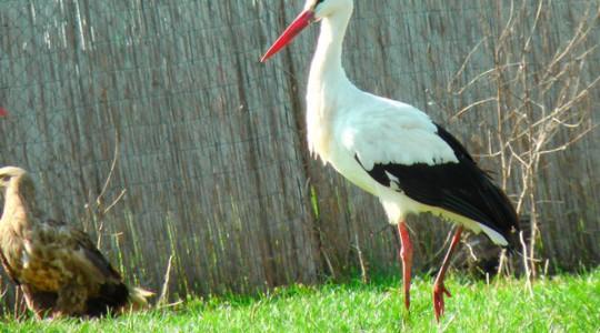 Fehér gólya - 1077