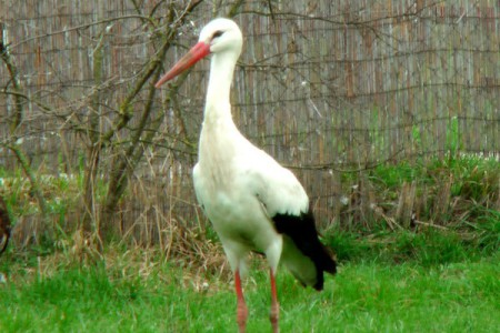 Fehér gólya - 1341