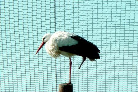 Fehér gólya - 1346