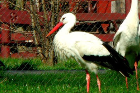 Fehér gólya - 1399