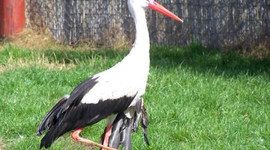 Fehér gólya - 1635
