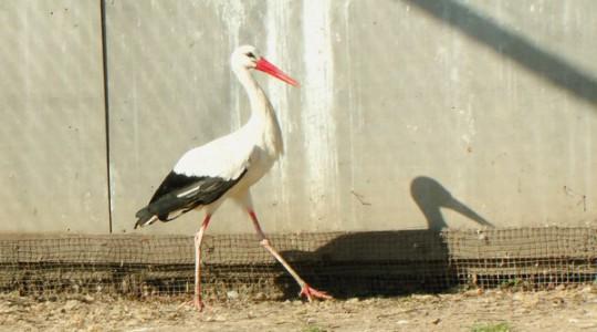 Fehér gólya - 1646