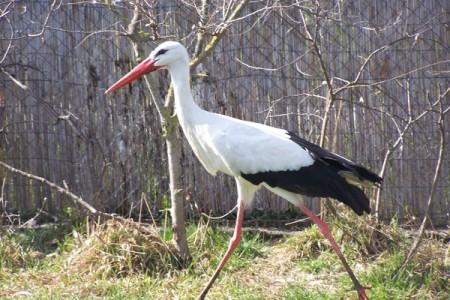 Fehér gólya - 1665