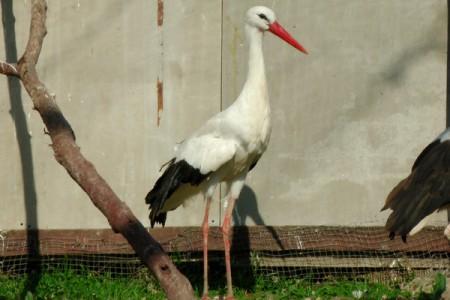 Fehér gólya - 1781