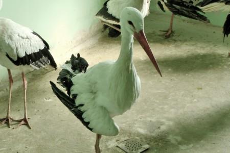Fehér gólya - 1822