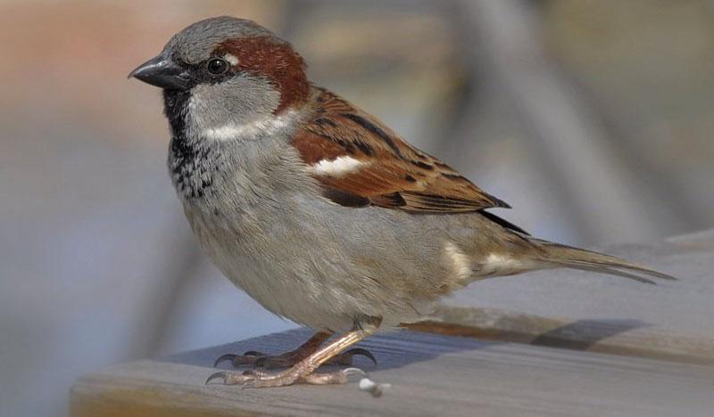 A hét madárdala: Házi veréb - 2020.02.24
