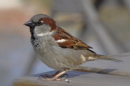 A hét madárdala: Házi veréb - 2014.03.03