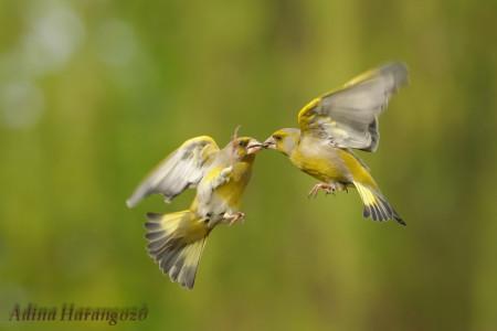 A hét madárdala: Zöldike - 2014.03.17
