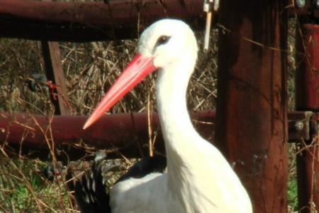 Fehér gólya - 1619