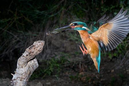 A hét madárdala: Jégmadár - 2020.05.18
