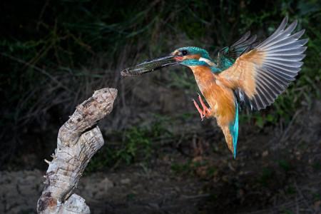 A hét madárdala: Jégmadár - 2014.05.19