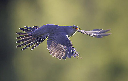A hét madárdala: Kakukk - 2020.05.25