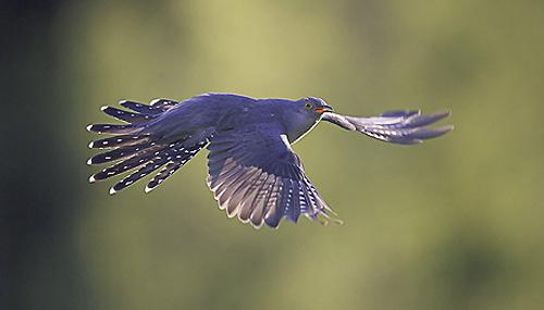 Cuckoo (Cuculus canorus) adult in flight. May. Scotland.
