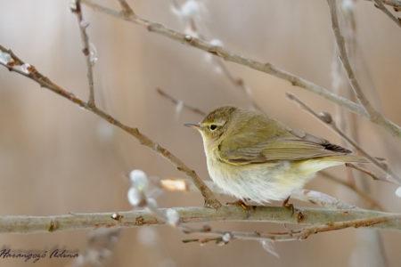 A hét madárdala: Csilpcsalpfüzike - 2020.06.22