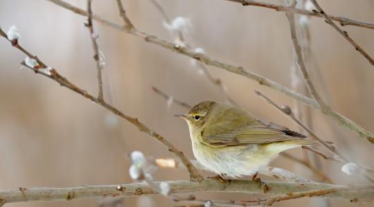 A hét madárdala: Csilcsapfüzike - 2014.06.23