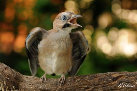 A hét madárdala: Szajkó - 2014.06.09