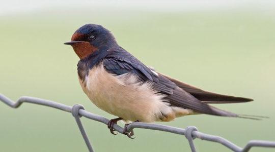 A hét madárdala: Füsti fecske - 2020.07.13