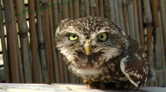 A hét madárdala: Kuvik - 2014.07.21