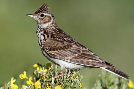 A hét madárdala: Mezei pacsirta - 2014.08.11