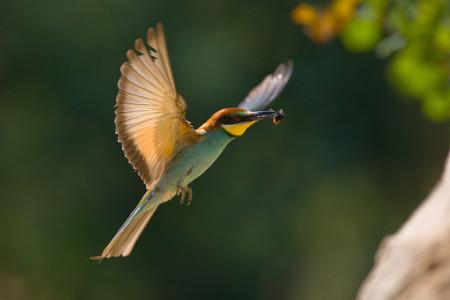 A hét madárdala: Gyurgyalag - 2014.08.25