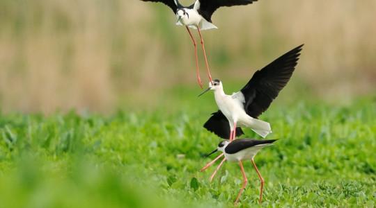 A hét madárdala: Gólyatöcs - 2014.09.01