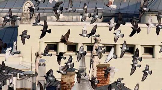 Rádióriport - A városi galambokról