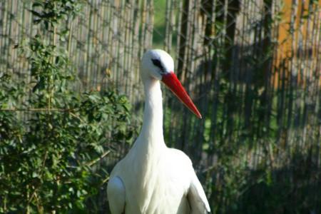 Fehér gólya - 3392