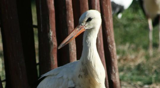 Fehér gólya - 3467