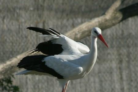 Fehér gólya - 3492