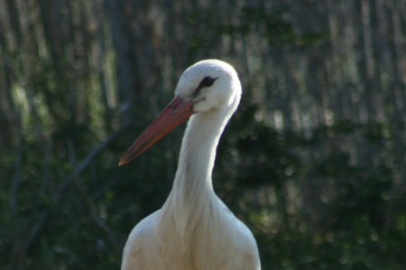 Fehér gólya - 3502