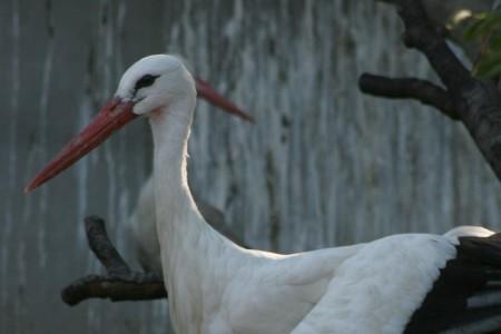Fehér gólya - 3519