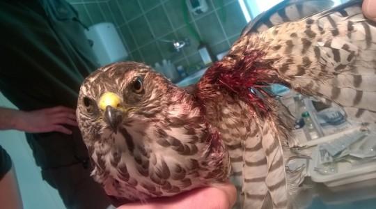 Páratlan páciens: Kis héja a Madárkórházban - 2015.09.23