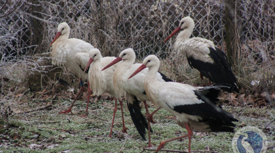 Téli gólyák - Nem fázunk, csak ácsorgunk