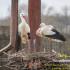 földön fészkelő gólyák
