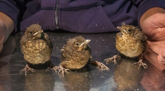 A fióka- és madármentésről