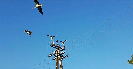 Tömeges gólyapusztulás Debrecenben áramütés miatt