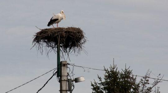 Megérkezett Hortobágyra is az első fehér gólya - 2018