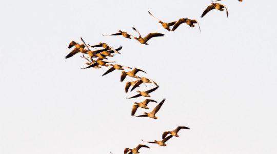 Hirtelen jött vándormadarak