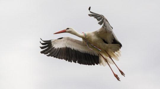 Kokárdás gólyák