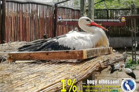 Féllábú és félcsőrű gólya állt párba