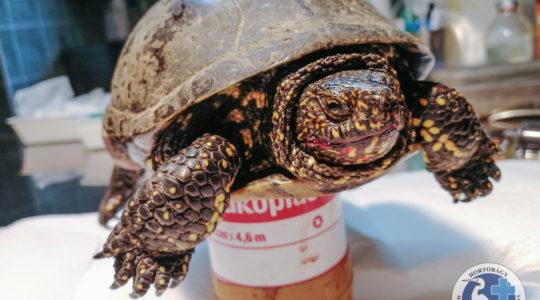 Megrágott teknős