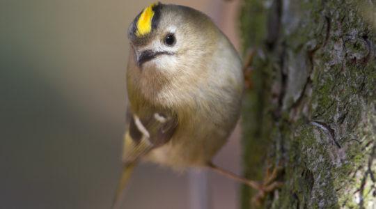 Európa legkisebb madara: a sárgafejű királyka